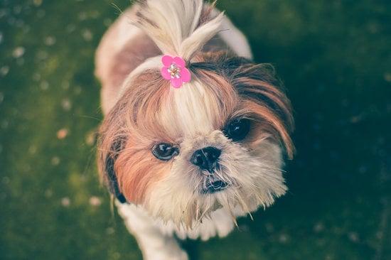 Shih Tzu is a good companion dog breed
