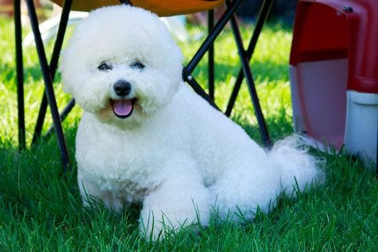 Bichon Frise small hairy dog breeds