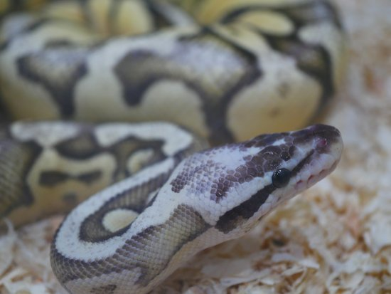 Wrong Cage Set-Up Will Affect Both Male & Female ball python lifespan