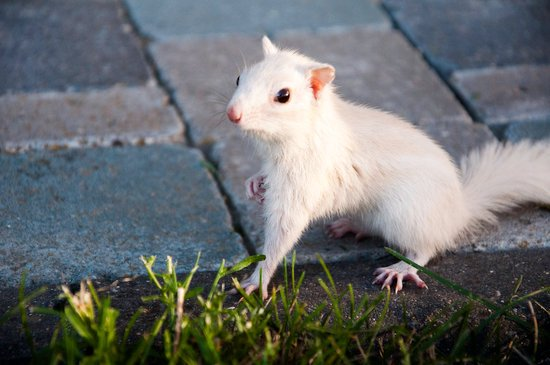 An albino squirrel with red eyes