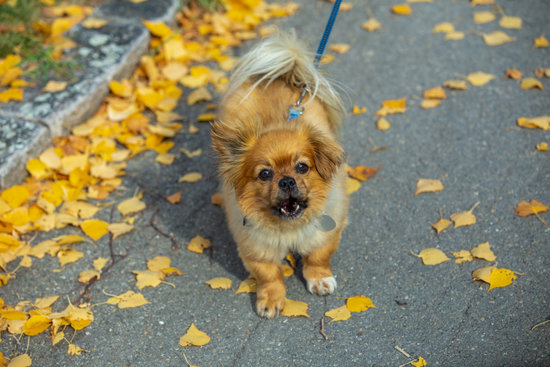 Affenpinscher breed of small healthiest dog