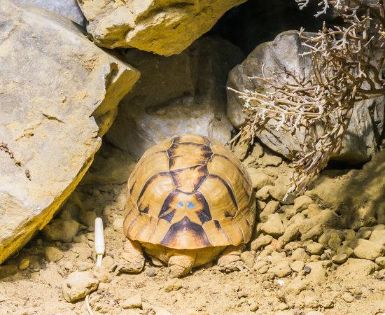 An Egyptian Tortoise