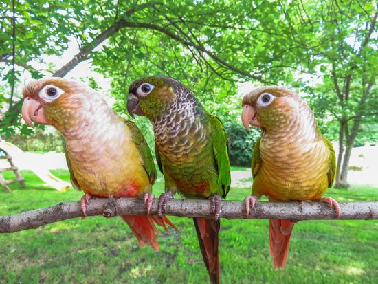 A group of Green-Cheeked Conure small parrot breeds