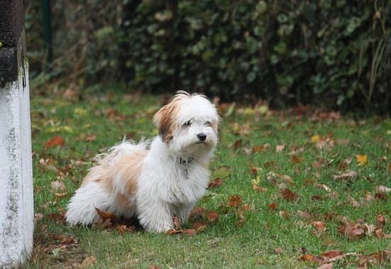 Havanese breed of small white fluffy dog
