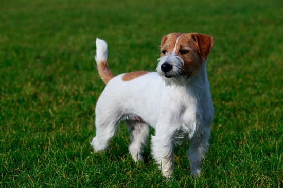Jack Russell Terrier breed of small game hunting dog