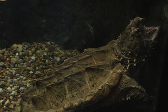 alligator snapping turtle hunting for food