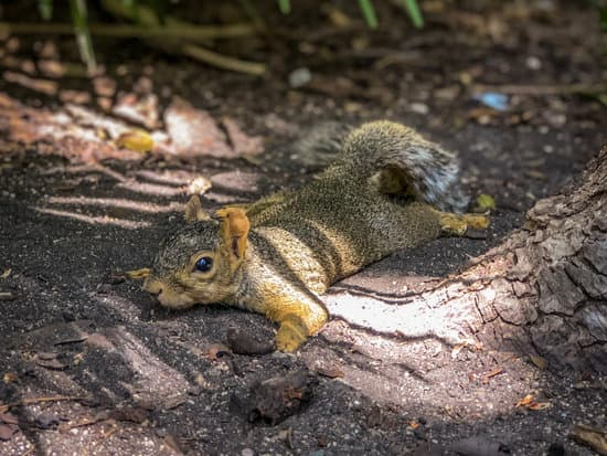 A squirrel trying to cool down its temperature in the dirt on a hot summer day
