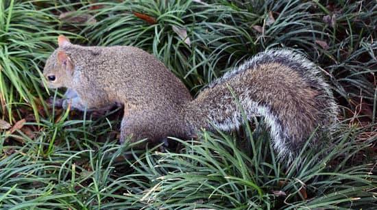 Adult Squirrels