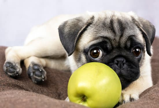 At What Age Can Pugs Eat Apples?