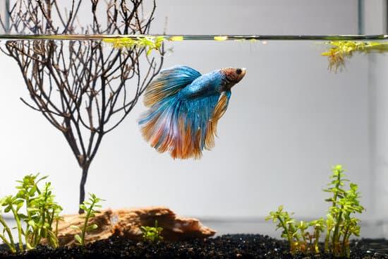 Can You Treat A Sick Betta Fish?