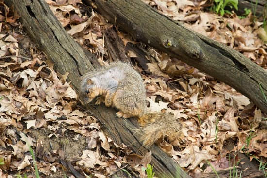 Why Is My Squirrel Losing Hair? Because of MANGE INFECTION