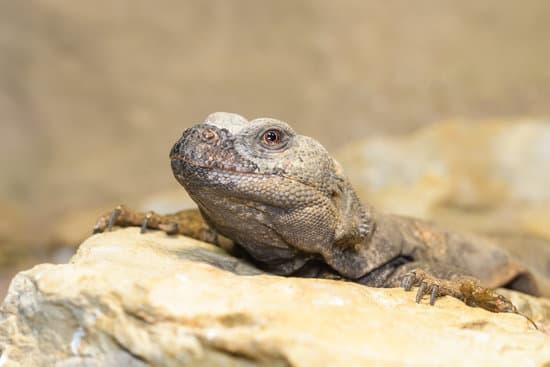 Uromastyx lifespan in captivity
