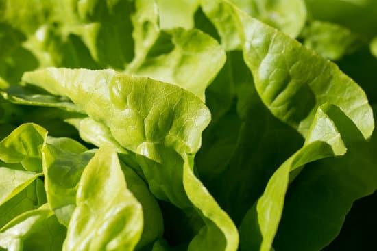 Is Lettuce Nutritious?