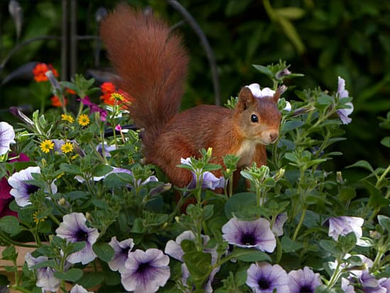 Squirrel eating some vegies in the garden