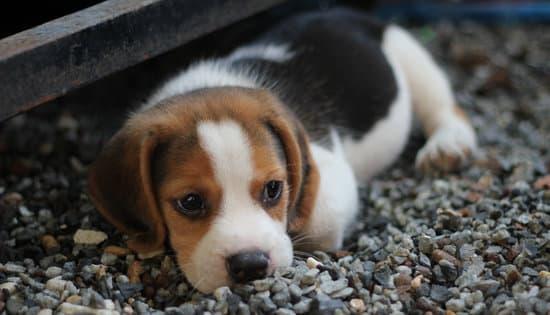 Beagle small fat dog breeds
