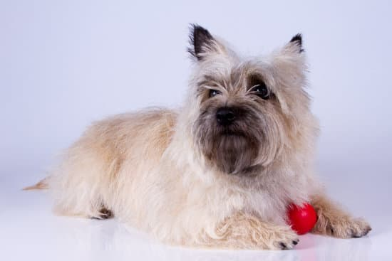 Cairn Terrier white and fluffy dog breed