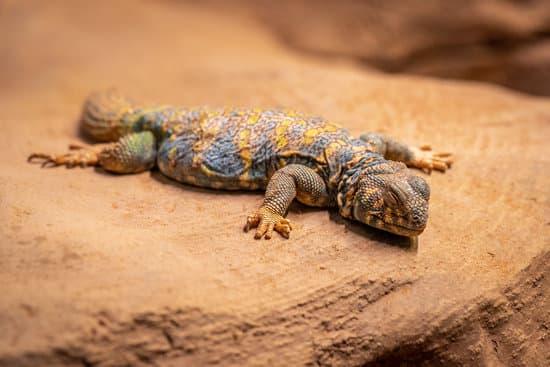 pet uromastyx sleeping