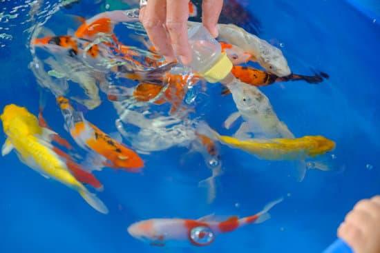 Can You Treat A Sick Koi Fish?