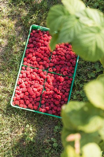 Raspberries in a green crate