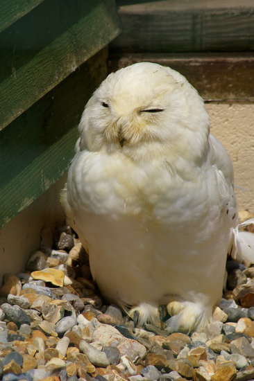Snowy Owl (Hedwig, Harry Potter) at Monkey and Owl Haven