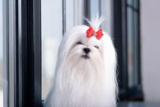 Maltese long haired dog breed