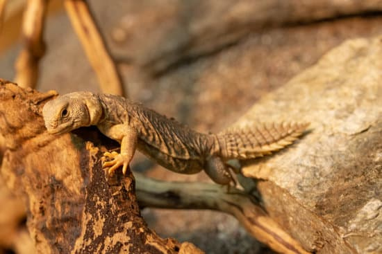 A young uromastyx Princeps