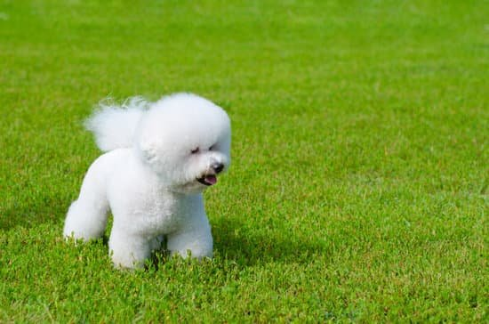 Bichon Frise dog breeds for small apartment