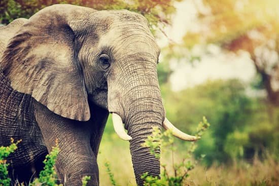 One year of an elephant's life is equal to 1.31 years for a human.