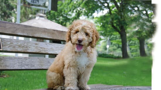 Labradoodle small lab breeds