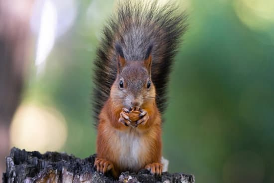 Can squirrels become pets?