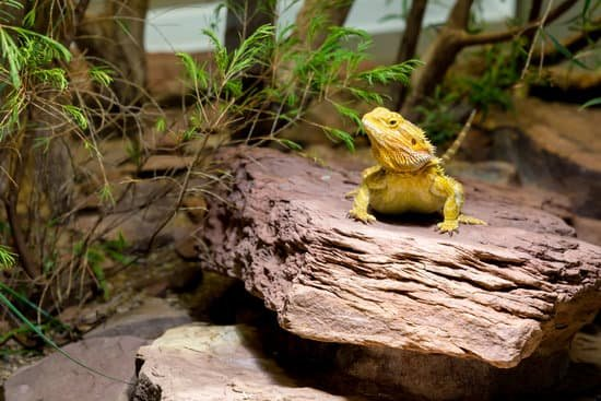Can Bearded Dragons Survive In Cold Temperatures