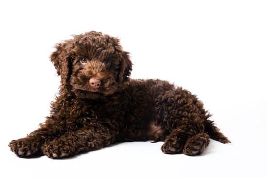 Mini Labradoodle small poodle breed