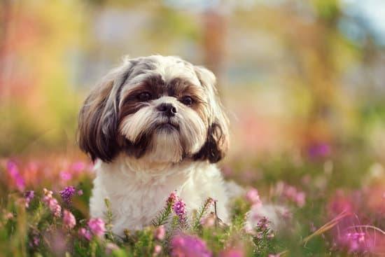 small asian dog breed: Shih Tzu