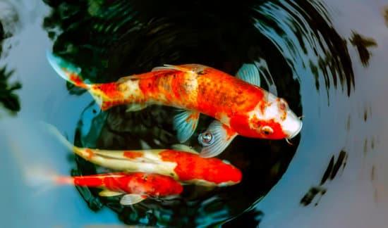 healthy koi fish