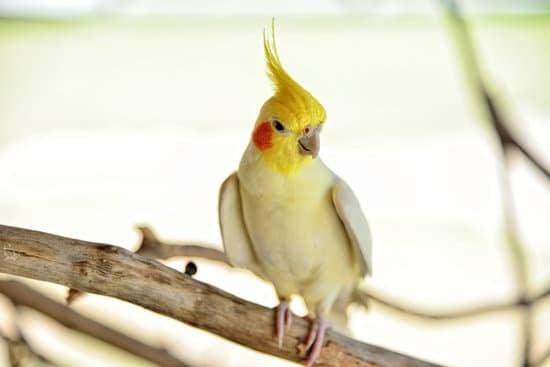 A Cockatiel small parrot breed