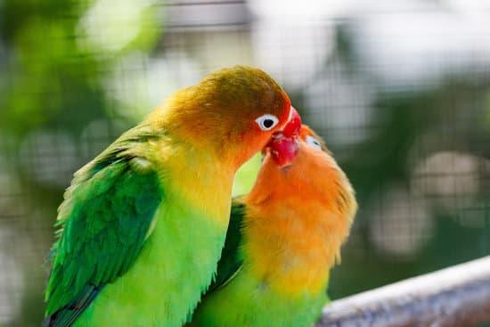 Lovebirds parrots