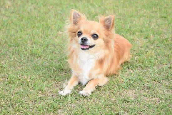 Chihuahua breed of small fat dog
