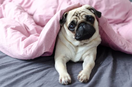 pug small low-energy dog breeds
