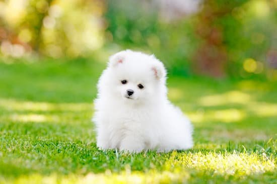 Pomeranian breed of small white fluffy dog