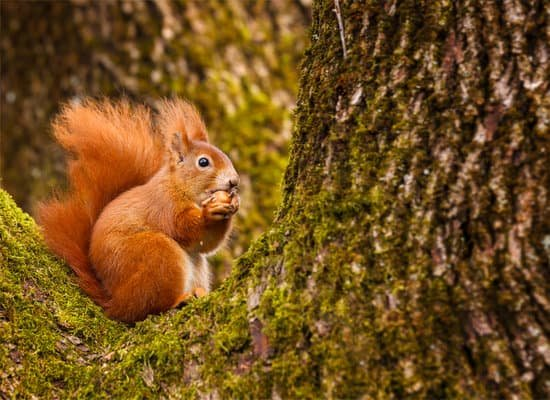 red squirrel live for about 3-5 years in the wild