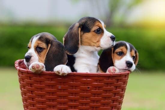 Beagle cheapest dog breed