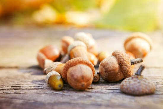 acorns good for squirrels