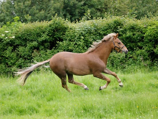 New Forest small Pony breed
