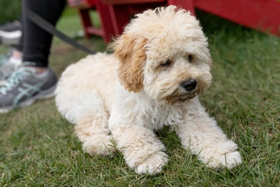 Maltipoo breed of small poodle dog