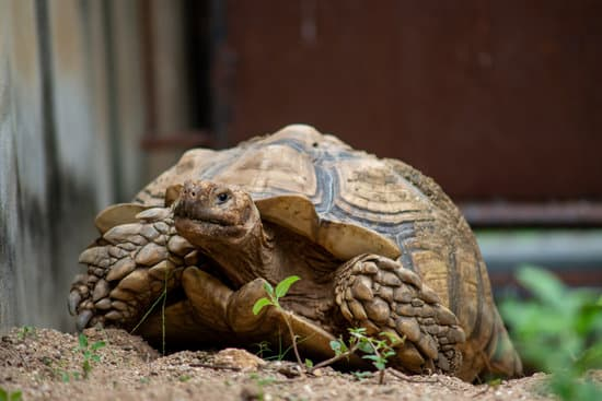 Sulcata Tortoise Greens And Vegetables Diet Chart