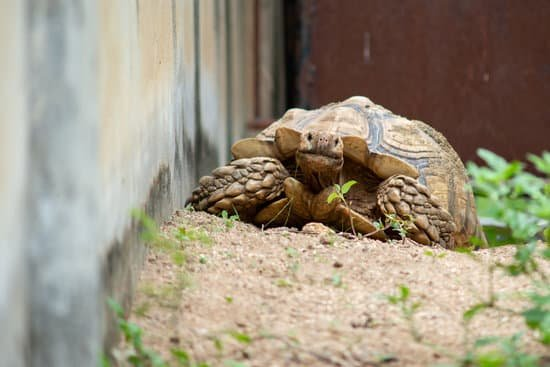 Do Sulcata Tortoises Continue Growing After They Reach Adult Size?