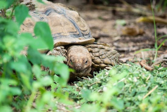 What Vegetables Can Sulcata Tortoises Eat?