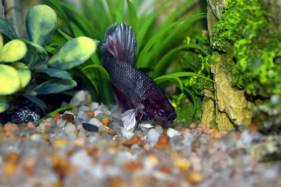 hiding is one symptom to tell betta fish is sick or about to die