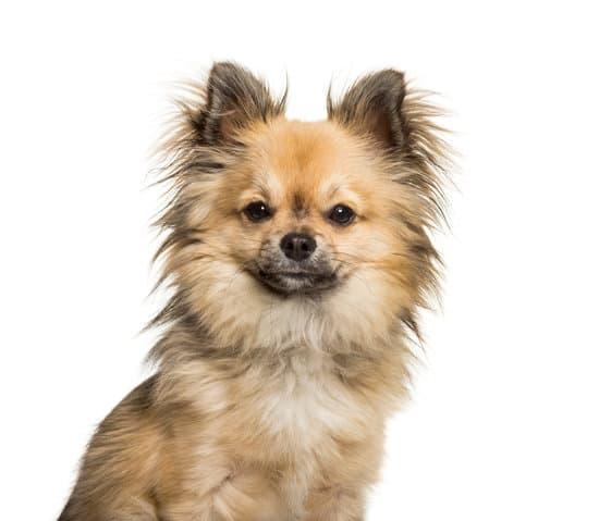 Chi-Chi mixed breed dog