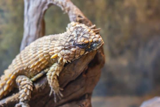Armasdillo lizards' hard scales